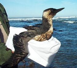Oiled bird
