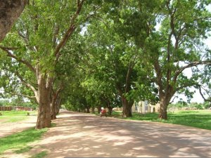 Pix of mature trees in Dilling, Sudan