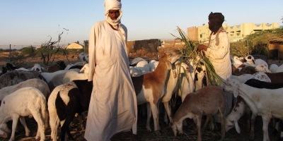 Pix Khartoum shepherds feed their flock in the early morning