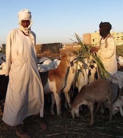 Pix Khartoum shepherds