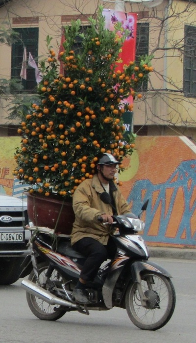 Carrying a kumquat tree in Hanoi, Vietnam