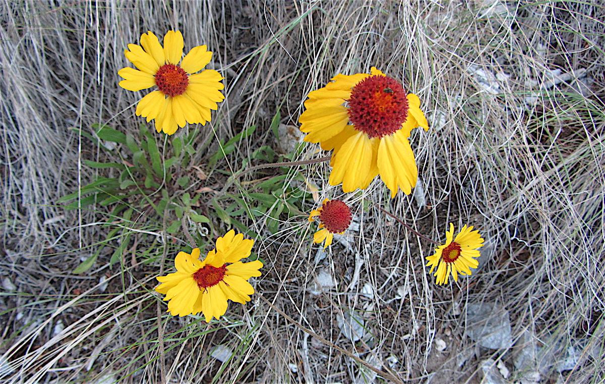 Pix daisies